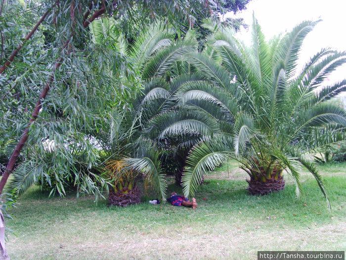 Местный житель отдыхает под пальмой (видели в одном из дворов)