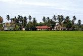 Зеленеет рис на поле