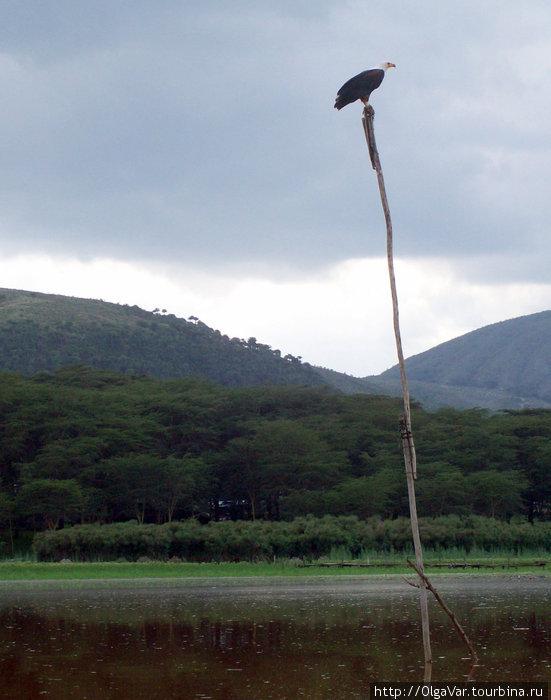 Белогрудый орел-рыболов на своем посту