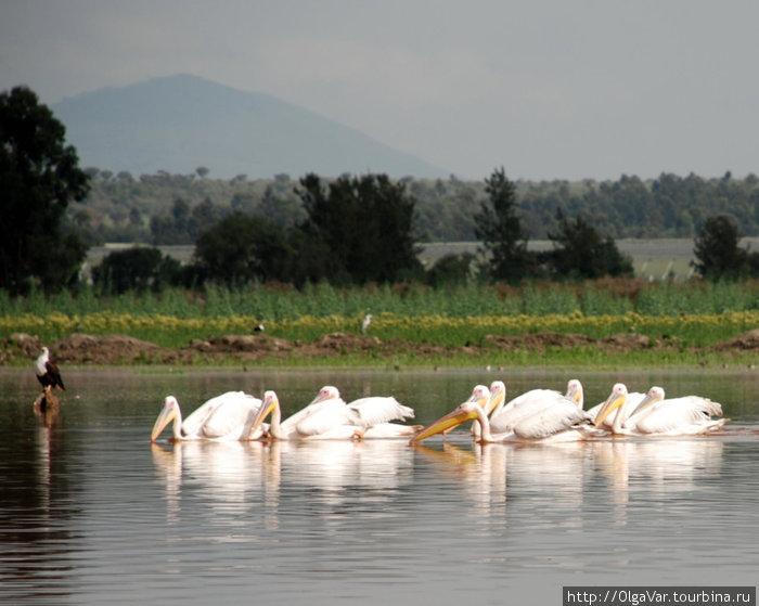 Пеликаны вышли на охоту, слева — орел-рыболов, на заднем плане — вулкан Лонгонот