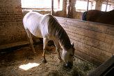 Белая лошадка была очень любознательна и ласкова