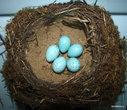 Гнездо и яйца певчего дрозда