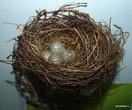 Гнездо и яйца обыкновенной овсянки
