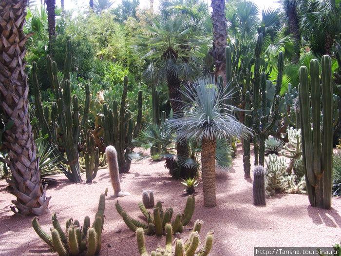 г. Марракеш. Сад МАЖОРЕЛЬ. Многобразие кактусов и пальм