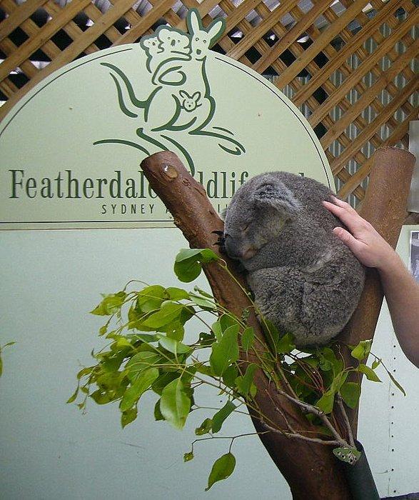 коала и рука довольного туриста