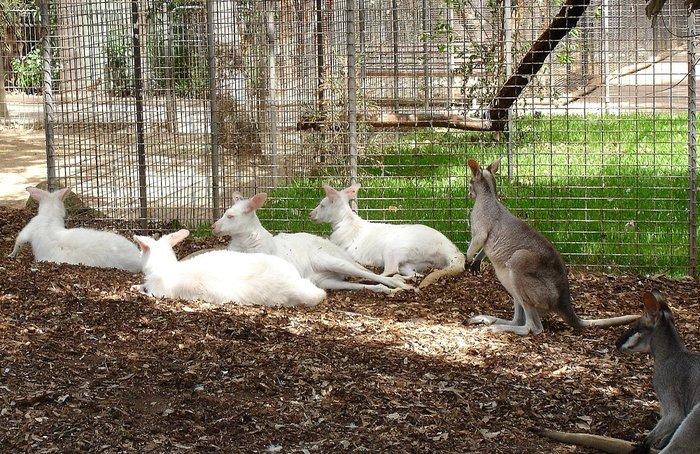 Альбинос или белый кенгуру — наиболее редко встречающийся вид. Как отмечают зоологи, рождение сумчатого альбиноса – явление вполне нормальное, но чрезвычайно редкое, особенно в неволе, где их насчитывается всего несколько десятков.