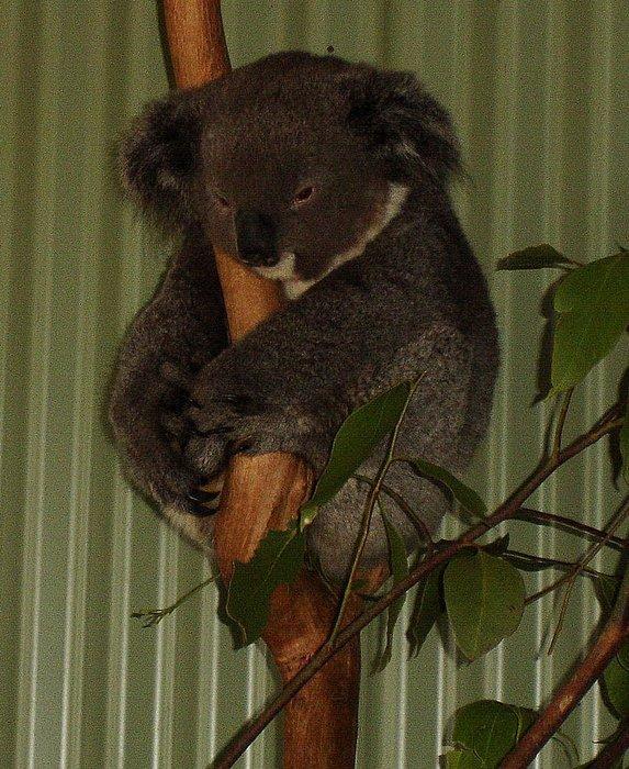 еще одна коала на прощание