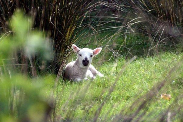 маленькая овечка. Щенок :)