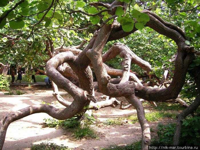 Чудо-дерево в парке города Варны.