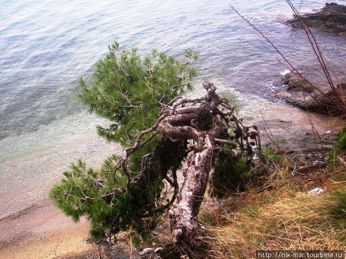 Неос-Мармарас. Сосна над морем.