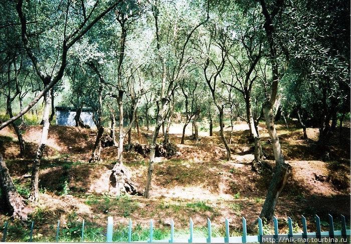 Италия. Оливковая роща возле Фиаскерино.