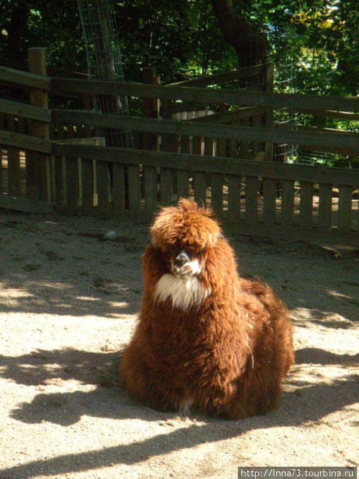 Верблюд ( такого вида я даже в Египте не видела).Позируем.