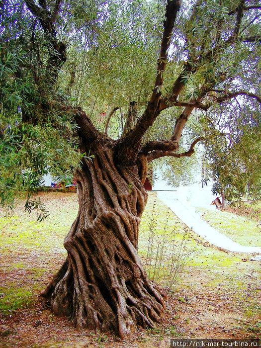 Некоторые оливы вырастают скрученными, как жгут.