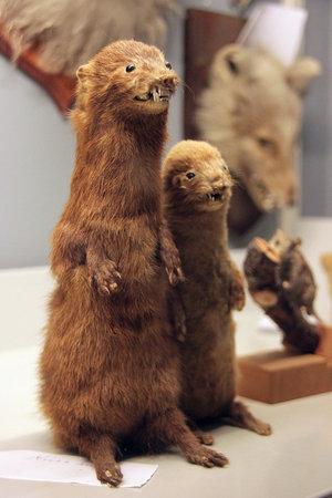 Есть в музее и зоологическая секция. Все животные — обитатели окрестностей.