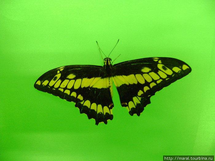 Бабочка — парусник