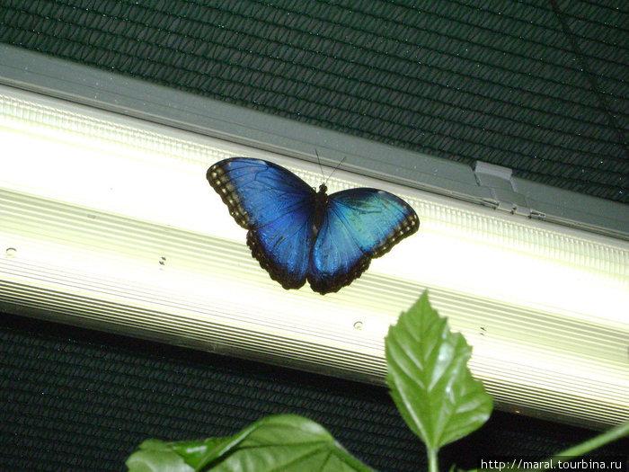 Морфа голубая уселась на светильник, чтобы с подсветкой продемонстрировать себя во всей красе