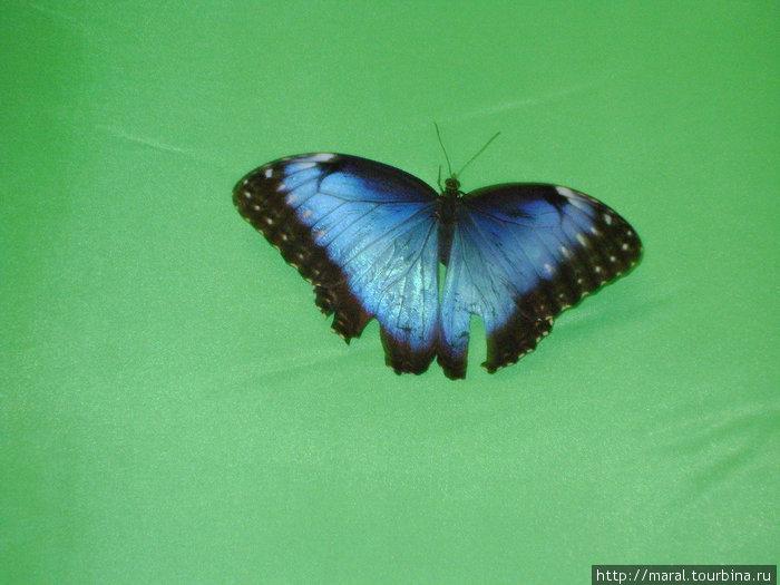 Лично мне приглянулась морфа голубая, чьи крылышки по цвету под стать голубизне неба над Южной и Центральной Америкой, где водятся эти бабочки