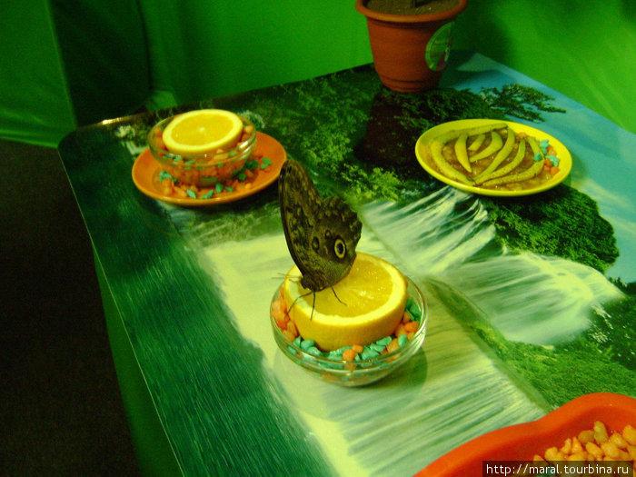 Бабочка «Совиный глаз» сидит на апельсине как на подиуме