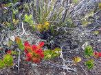 Кактусы на вулкане