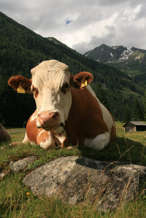 австрийская корова