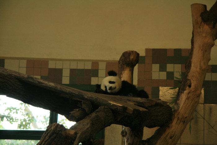 недавно родившаяся маленькая панда в Шенбруннском зоопарке