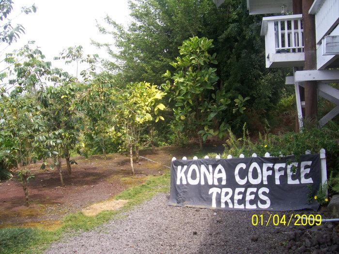 Кофейные деревья Коны