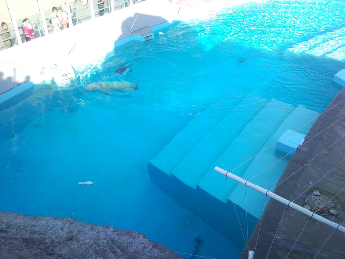 Белые медведи обожают купаться