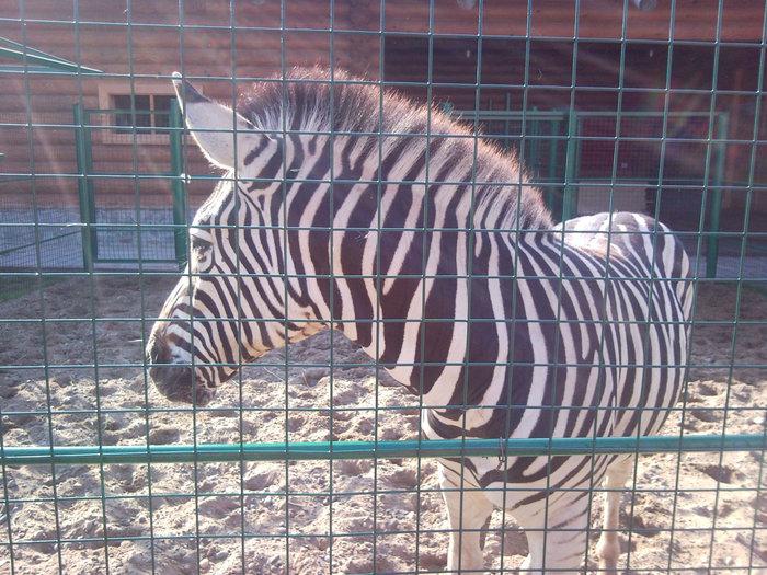 Детёныш зебры