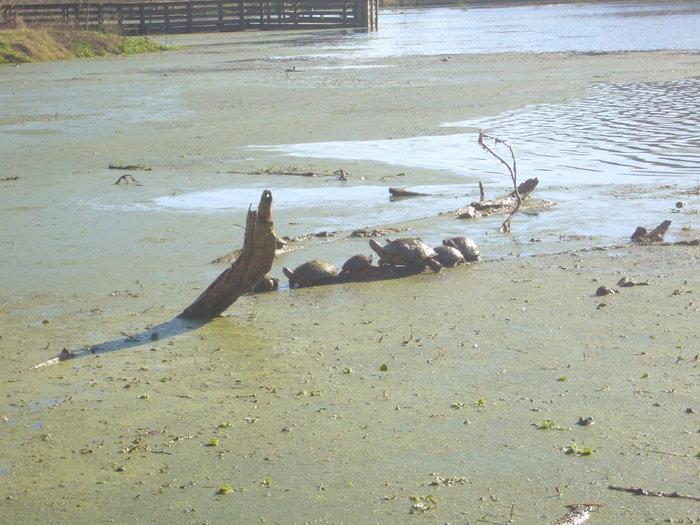 Черепахи на озере