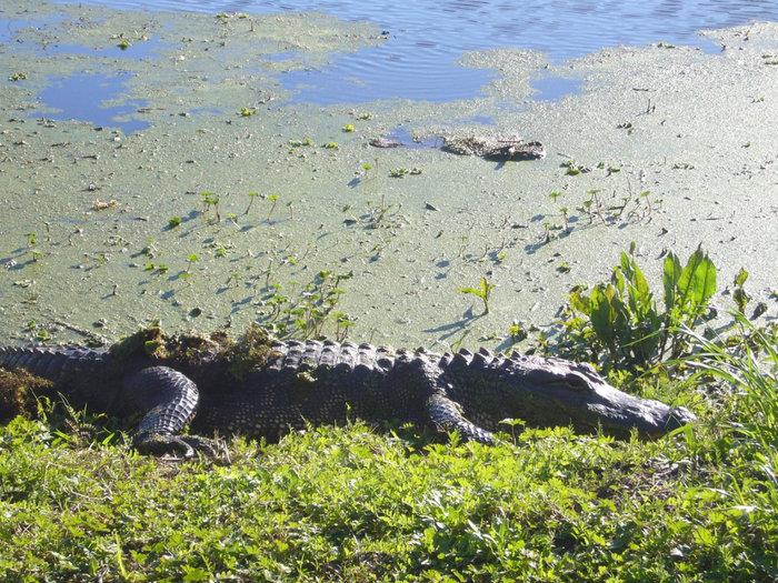 Аллигатор решил нам себя показать, повернулся на берегу.