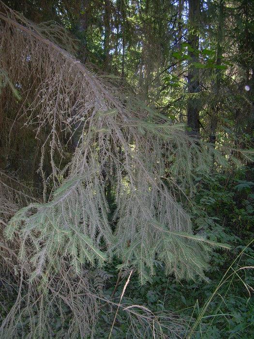 Мох на деревьях первый признак экологической чистоты на острове.