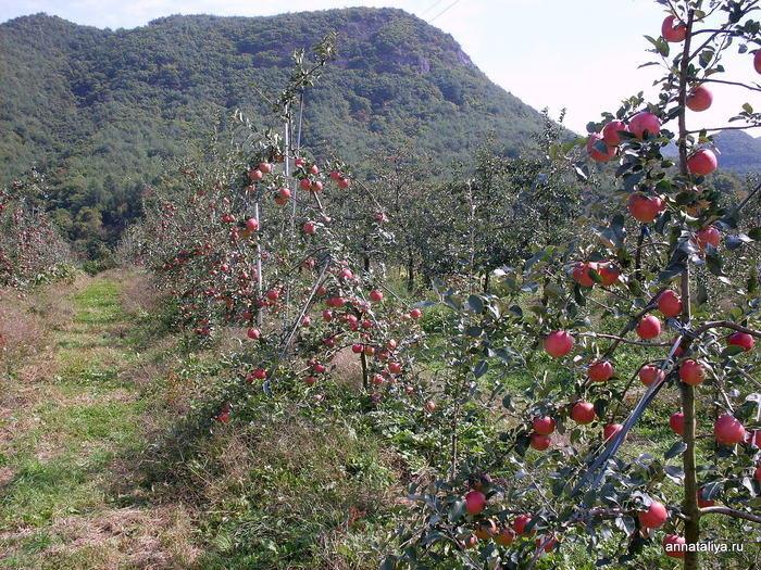 Яблочные плантации