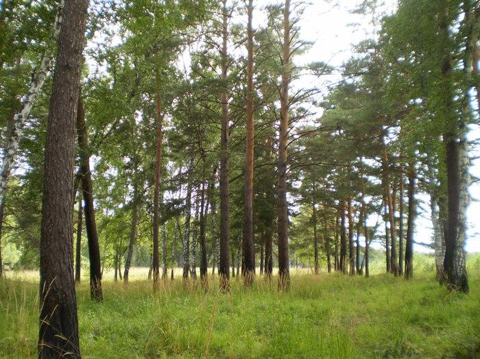 Лес, в котором растут маслята
