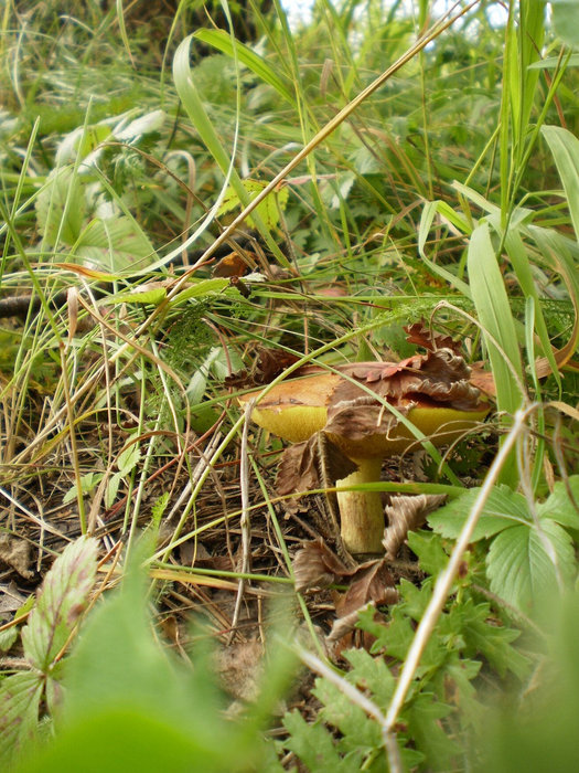 Нашёлся маслёнок — ищи вблизи грибочки