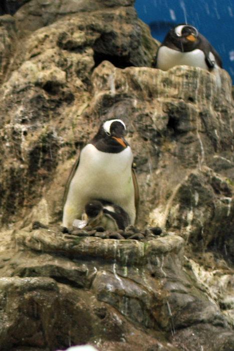 пингвины Пуэрто-де-ла-Крус, остров Тенерифе, Испания