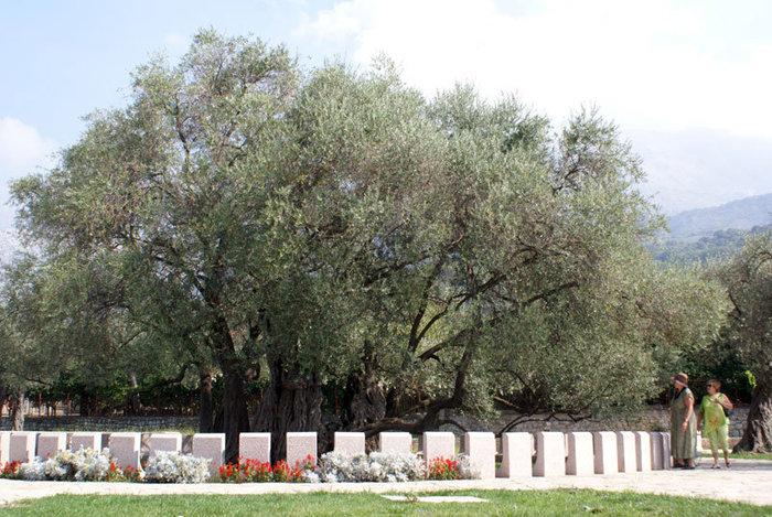 Самое старое дерево Европы — олива 2000-летняя.