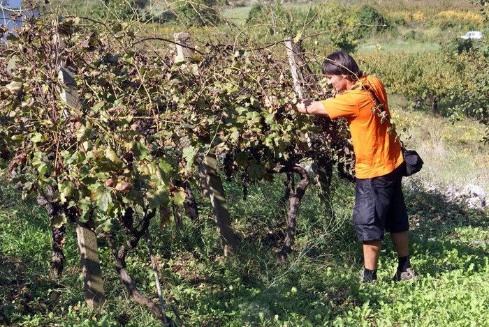 Дегустация хорватского винограда