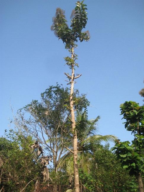 А у этих деревьев специально обламывают ветки, для того, что бы росло в высоту. Тот, кто здесь владеет участком с лесом из этого дерева — будущий миллионер, потому что древесина его очень дорога.