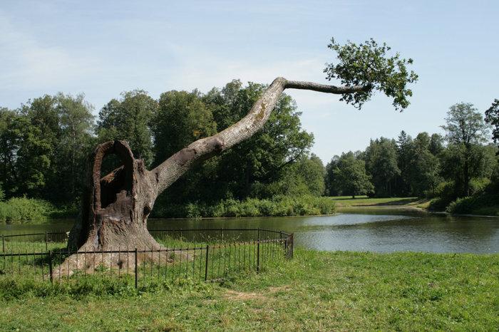 Дерево ухо