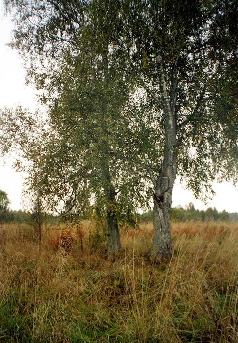 Берёзы на околице исчезнувшей деревни Ишмик