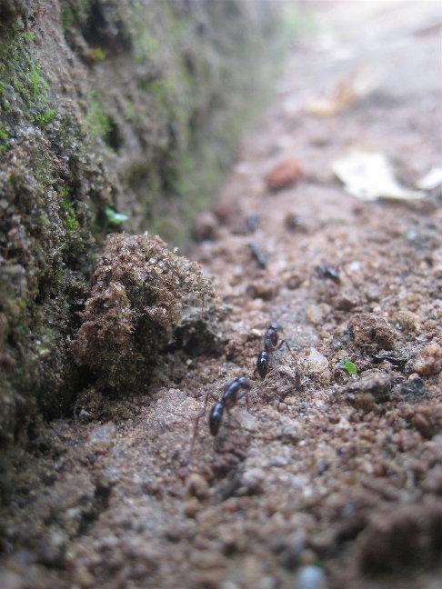 Местные муравьи