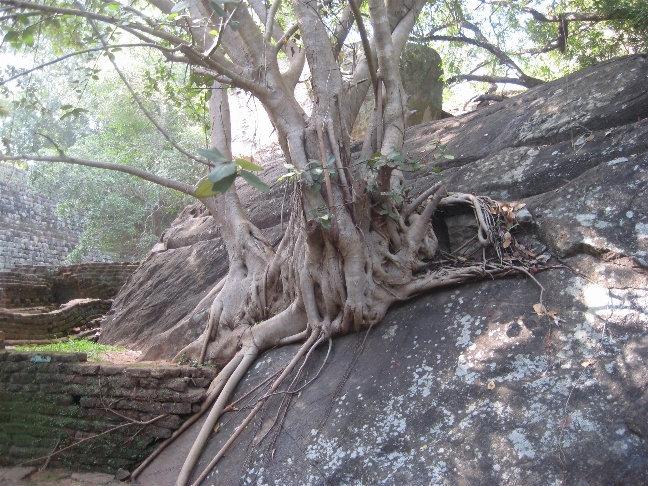 Деревья причудливо оплетают камни своими корнями