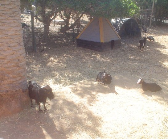 Древолазающие козы