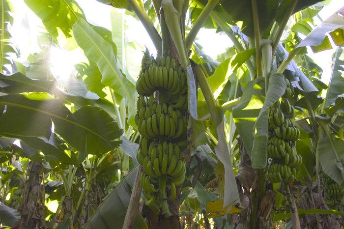 заросли банановой травы