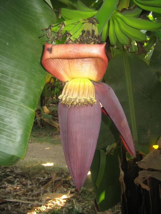 цветок банана
