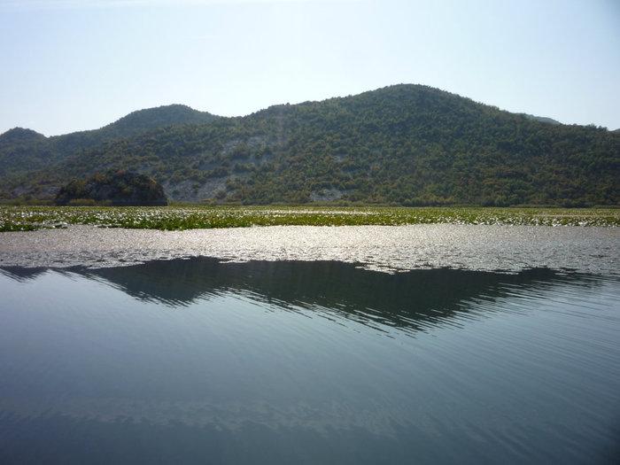 лилии на Скадарском озере