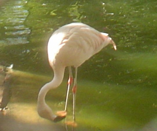 Такие фламинго обитают в Национальном парке в устье реки Масса.  (Эх, так не хочется признаваться, что эта фотография сделана в зоопарке Агадира! Вот кто бы сам догадался?)