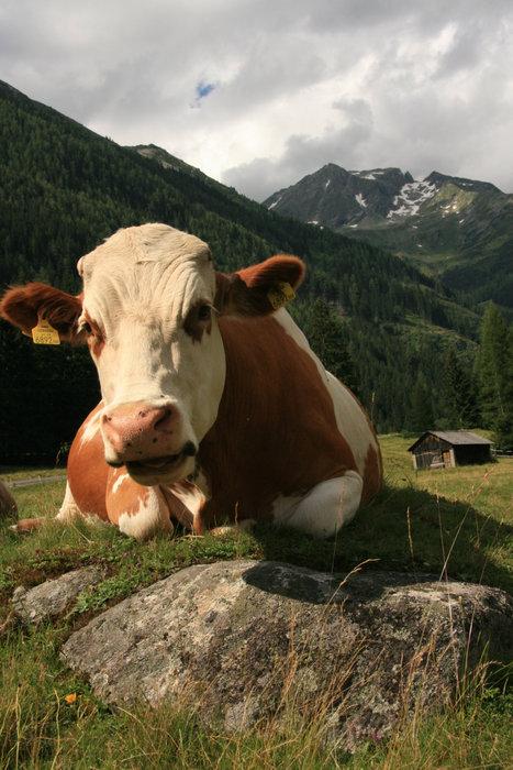 корова с шоколадки Milka