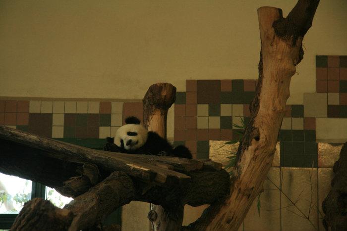 панда, родившаяся в Шенбруннском зоопарке