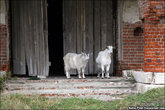козы гуляют без всякой привязи